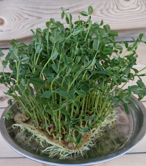 Pea microgreens are super tasty!