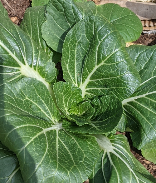 Bok choy is number 2 on the healthiest leafy greens list.