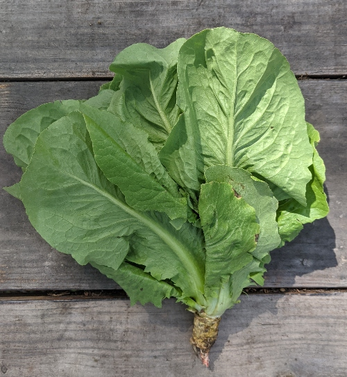 Romaine is number 8 on the healthiest leafy greens list.