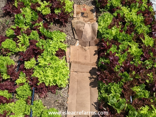 How to use cardboard in your garden: in the walk paths