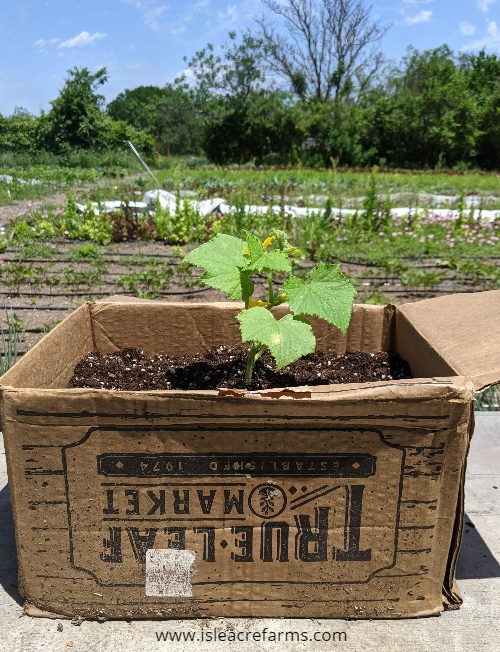 How to use cardboard in your garden: container garden