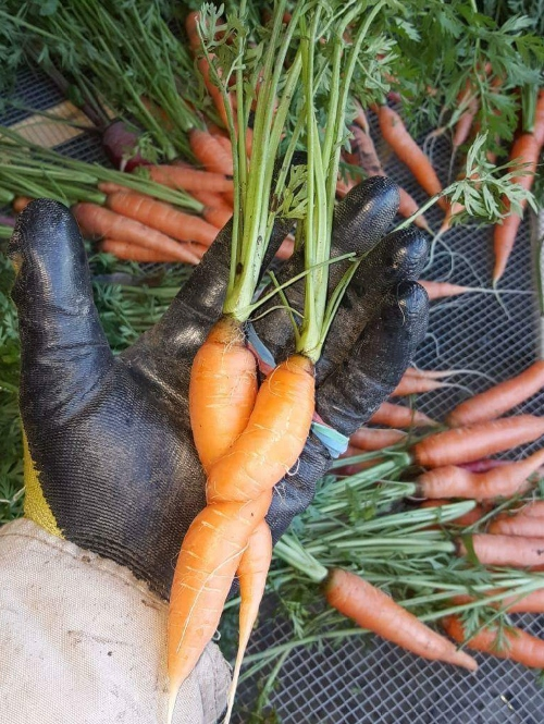Carrots good for you love to hug each other.