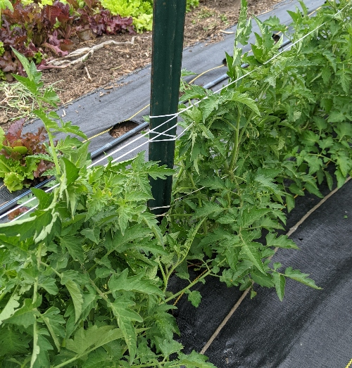 How to trellis tomatoes: wrap around the t-posts and go back.